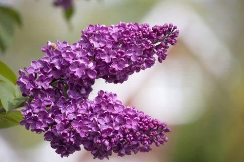 Lilac Tree Blossom Flowers