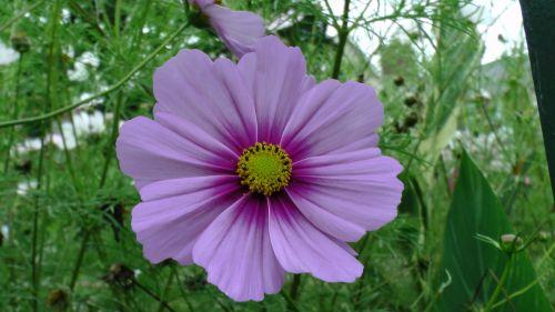 gėlė, gėlės, rožė, rožės, flora, augti, auga, sodas, sodai, krūmas, krūmai, sodininkystė, sodininkystė, žalias, augalas, augalai, botanikos, botanikos, alyvinė geltona gėlė
