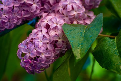 lilacs  flowers  spring