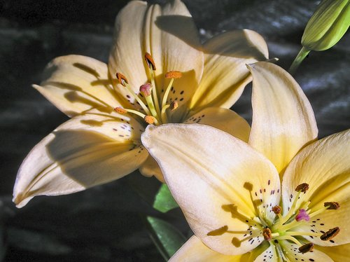 lilies  asiatic  flower