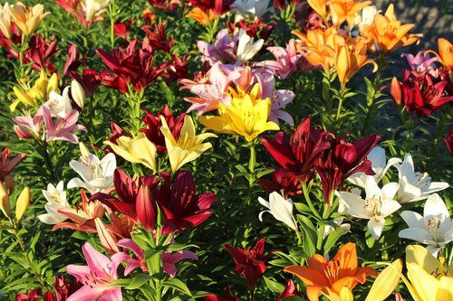 lilies  lilienfeld  colorful