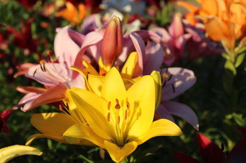 lilies  yellow  pink