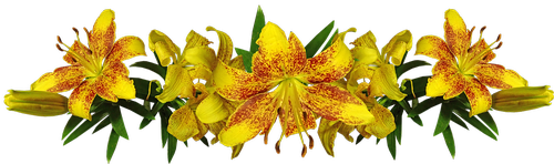 lilies  yellow  asiatic