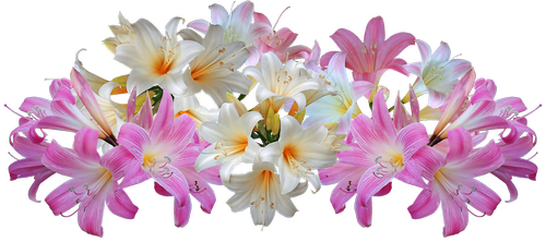 lilies  belladonna  easter lilies