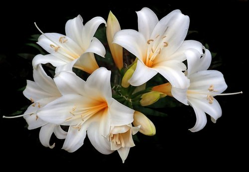 lilies  easter lilies  white flowers