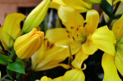 lilium  lilium yellow  lilies