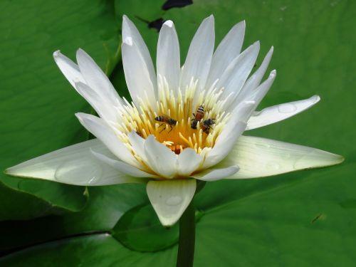 lilly flower honeybee