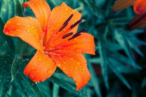 lily flower blossom