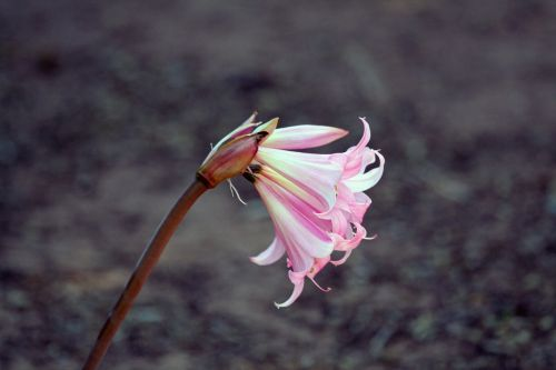 lily pink white