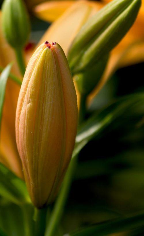 lily flower daylily
