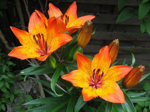 lily feuerlilie flower