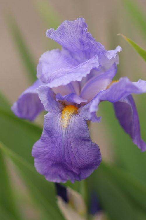 iris,violetinė,gėlė,žiedas,žydėti,žydėjo,augalas,gamta,pavasaris,violetinė,flora,Uždaryti