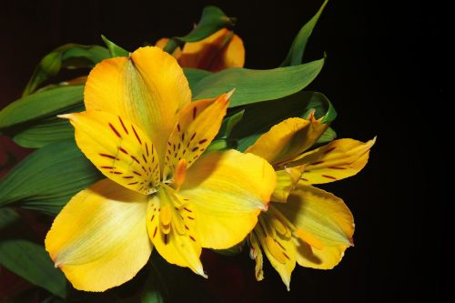 lily yellow blossom