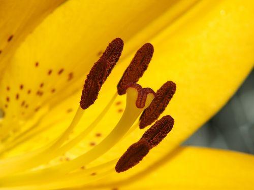 lelija,geltona,žiedas,žydėti,gėlių antspaudas,žydėti,iris,Uždaryti