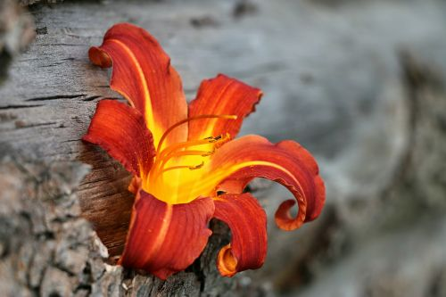 lily flame fire