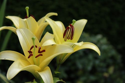 lily yellow flowers
