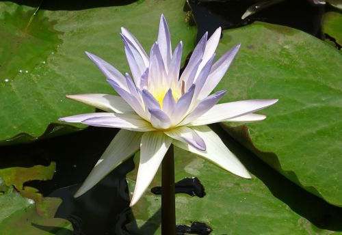 lily water lily nymphaea caerulea