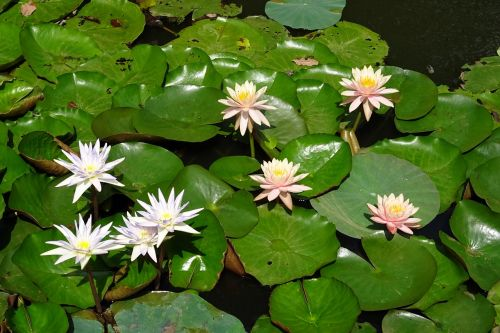 lily water lily peach glow