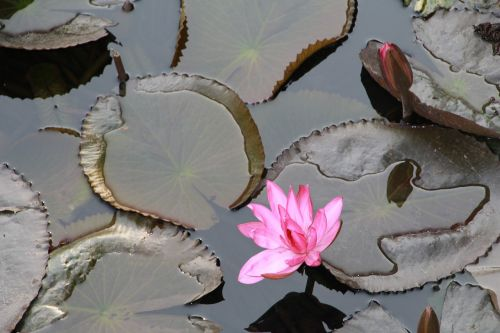 lily water lily water