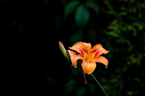 lily blossom bloom