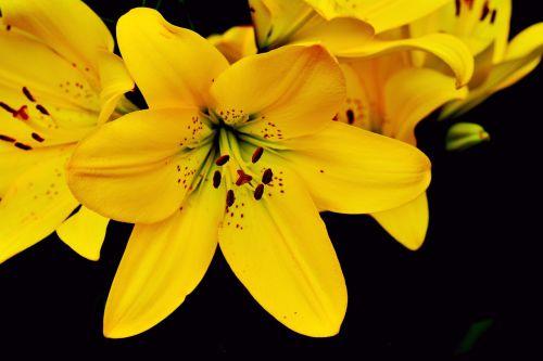 lily yellow lily lilium