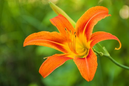 lily flower plant