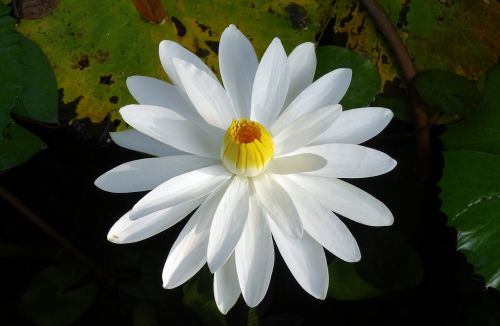 lily water lily white