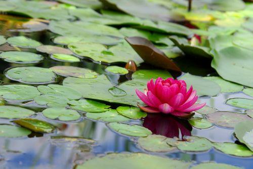 lily flowers lotus