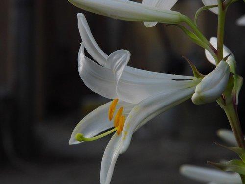 lily  lilium  flower