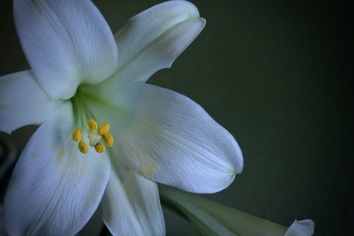 lily  easter  white