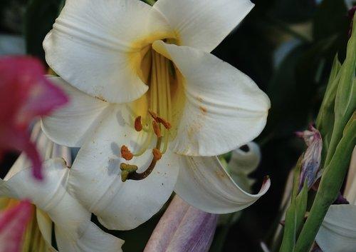 lily  petals  stamen