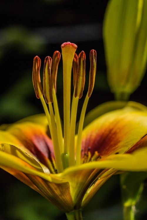 lily asian lily lilium asiatic