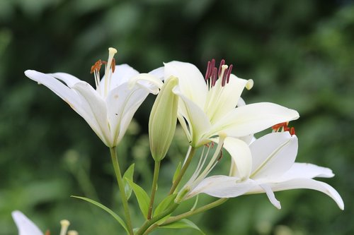 lily  white lilies  flowers