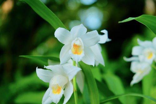 lily  petal  white