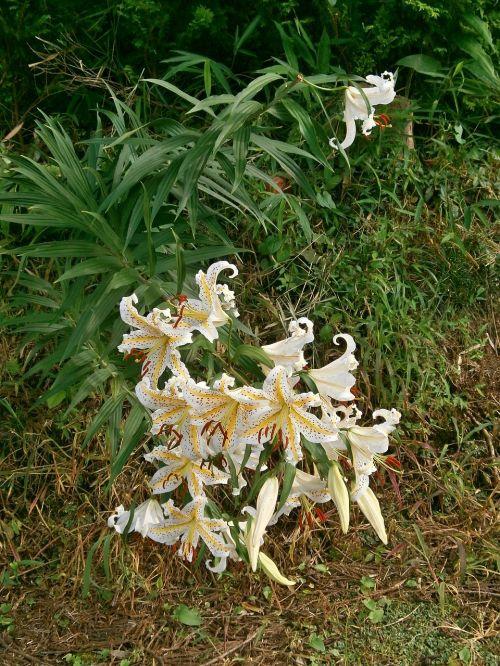 lily yuri yamayuri