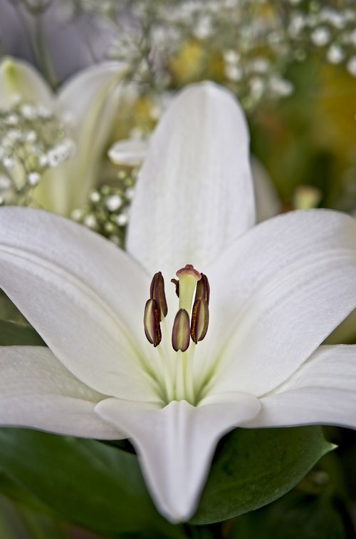 lily  asiatic lily  white