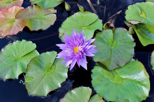 lily lily pad flower