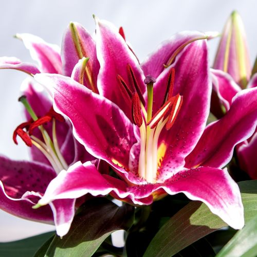 lily flower close