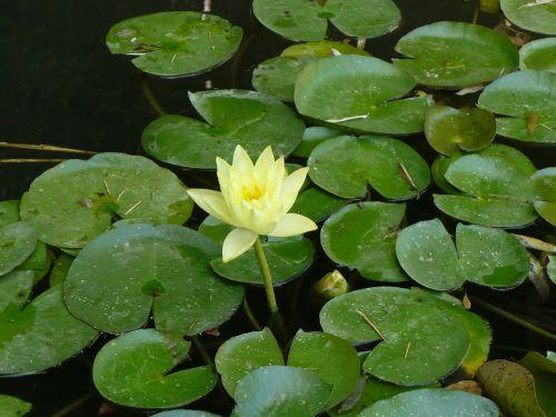 lily flower summer