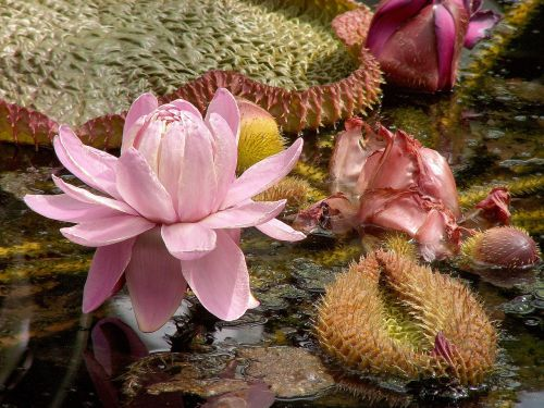 lily water lily victoria lily