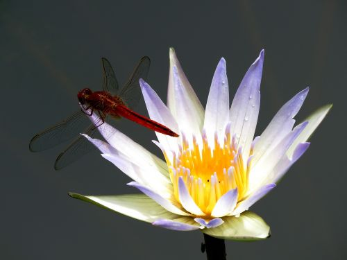 lily flower dragon fly white