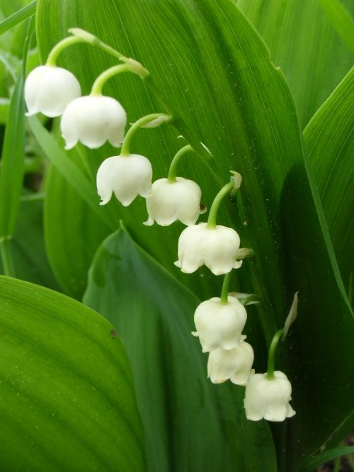 lily of the valley toxic flower