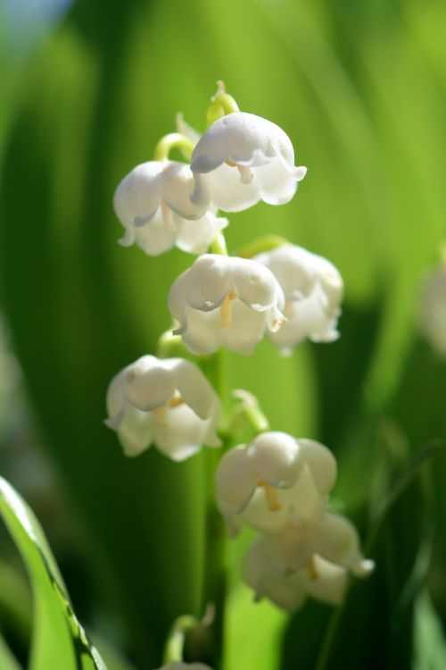 lily of the valley,flower,spring,white,nature,plant,signs of spring,bell,close,flowers,spring flowers,green,macro,frühlingsanfang,may