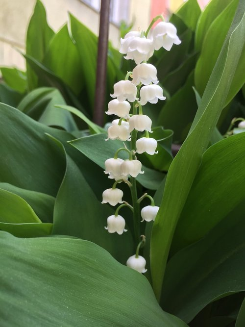 lily of the valley  spring  flowers