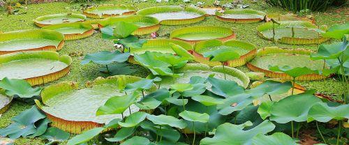 lily pad seerosen plate victoria