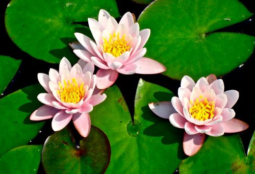 lily pad lilies flower