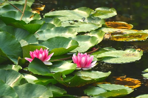 lily pad  flower  pond