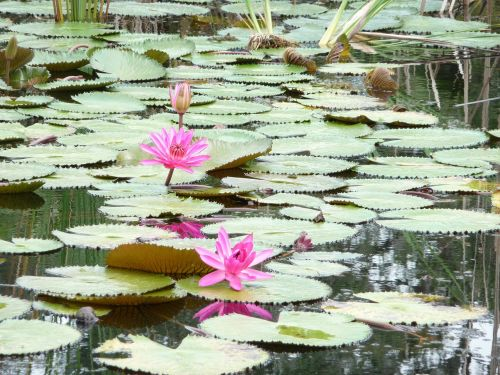 lily pad pond lily flower