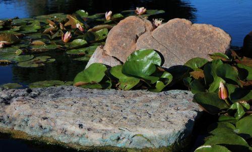 lily pads pond spring