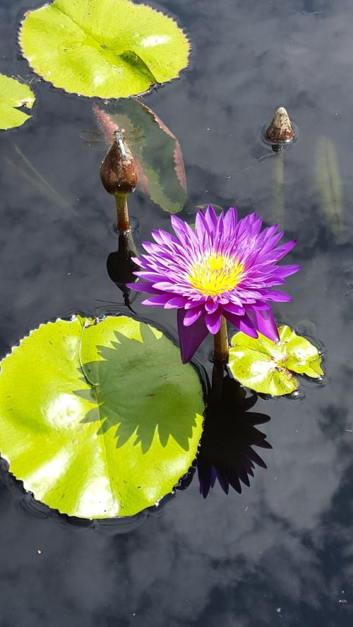 lily pads flower pond